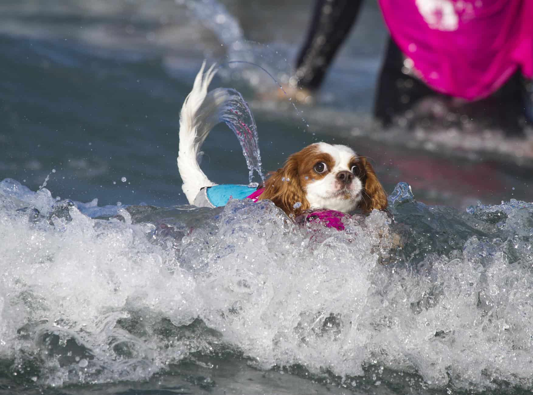 Do Dogs Like To Surf